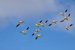 Snow Geese in Flight stock photo