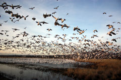 Snow geese take wing Royalty Free Stock Photo
