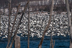 Snow Geese Taking Flight Royalty Free Stock Photos