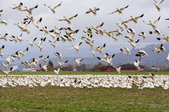 Snow geese taking flight. Mt. Vernon, WA, USA Feb. 7, 2011: Snow geese Chen caerulescens gather in large numbers on Fir Island in Skagit county every winter from Stock Photo