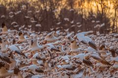 Snow Geese taking off royalty free stock image