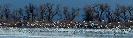 Snow geese taking off from water stock images