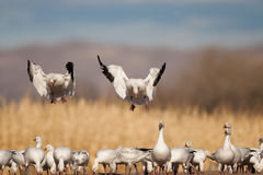 Snow Geese Royalty Free Stock Image