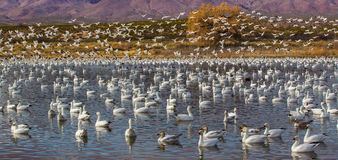 Snow Geese In Water And In Air Royalty Free Stock Photos