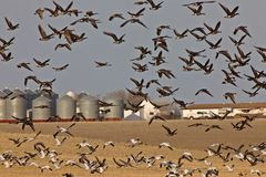 Snow Geese And Whie Fronted Geese Canada in Flight. Snow Geese And White Fronted Geese Canada in Flight Saskatchewan Stock Image