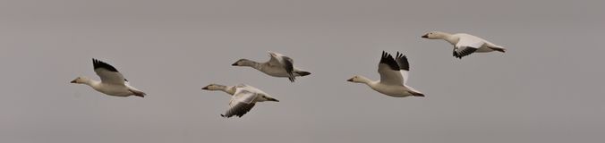 Snow geeses flying to the Arctic. 1 Royalty Free Stock Photography