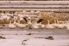 Snow geeses relaxing in the fields before going up north. 1 Stock Image