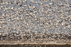 Snow geeses taking off for it migration. 1 Royalty Free Stock Photography