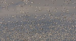 Snow geeses taking off for it migration. 1 Royalty Free Stock Images
