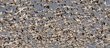 Snow geeses taking off for it migration. In the arctic 1 Stock Images
