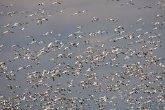 Snow geeses taking off for it migration. 1 Stock Images