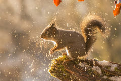 When snow gets splashy. Red squirrel with back light and melting snow splashes Royalty Free Stock Photos