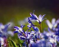 Snow Glories. Backlit snow glories in spring Royalty Free Stock Photo