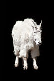 Snow goat Royalty Free Stock Photo