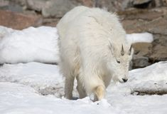 Snow goat or mountain goat. Rocky moumtain goat. She deftly climbs on the cliffs of the rocky mountains Royalty Free Stock Photos