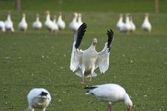 Snow goose Stock Image