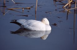 Snow goose. On a lake with bill tucked in back feathers Royalty Free Stock Images