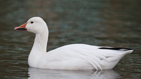 Snow Goose Royalty Free Stock Photos