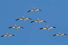 Free Snow Goose - Anser Caerulescens Stock Photo - 55718550