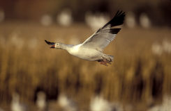 Snow goose, Anser caerulescens Royalty Free Stock Image