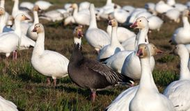 Snow Goose and Blue Geese Stock Image