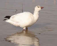 Snow Goose Calling. A Snow Goose calling during migration in New Mexico Royalty Free Stock Photo