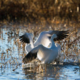 Snow Goose, Chen caerulescens Royalty Free Stock Image