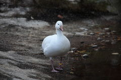 Snow goose Royalty Free Stock Image