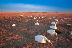 Snow Goose Decoy. Spread in Saskatchewan Canada harvested Pea field Stock Photography