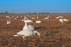 Snow Goose Decoy. Spread in Saskatchewan Canada harvested Pea field Stock Images