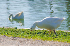 Snow goose eating Stock Images