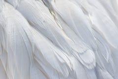 Snow Goose Feathers Stock Photos