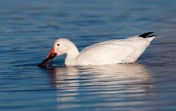 Snow Goose Feeding Stock Photography