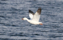 Snow Goose In Flight Stock Image