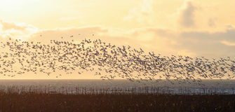 Snow goose flight Stock Photos