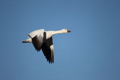 Snow goose in flight. With a blue sky background Stock Photo