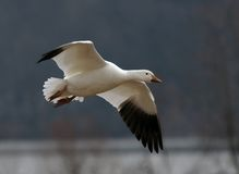Snow Goose in Flight. A single migrating Snow Goose in flight royalty free stock photography