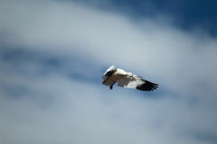 A snow goose in flight with a blue sky background. A single snow goose flying with a blue sky background Stock Images