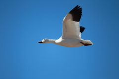 A snow goose in flight with a blue sky background. A single snow goose flying with a blue sky background Royalty Free Stock Image