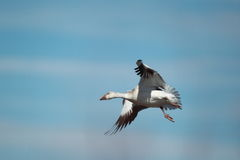 A snow goose in flight with a blue sky background. A single snow goose flying with a blue sky background Stock Photography