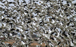 Snow Goose flocks Royalty Free Stock Photos
