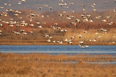Snow Goose Fly In Stock Image