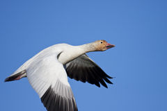 Snow goose flying Stock Images