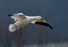 Snow Goose Flying. A single migrating Snow Goose in flight stock image