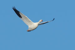 Snow Goose Royalty Free Stock Photography
