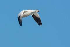 Snow Goose Stock Images