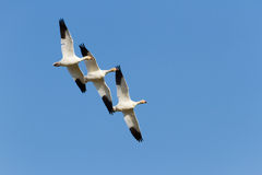 Snow Goose Royalty Free Stock Photo
