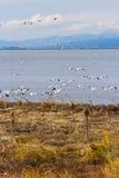 Snow Goose Royalty Free Stock Photo