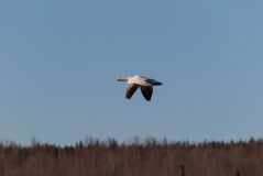 Snow Goose. Flying over a marsh in the early spring Stock Photography