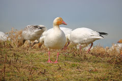 Snow Goose Foraging on Canada`s West Coast. Snow Geese forage on grass during the early Spring on Canada`s west coast Royalty Free Stock Image